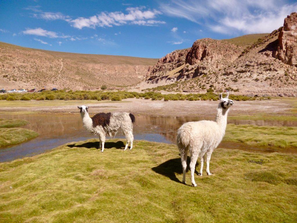 llamas paysages bolivie